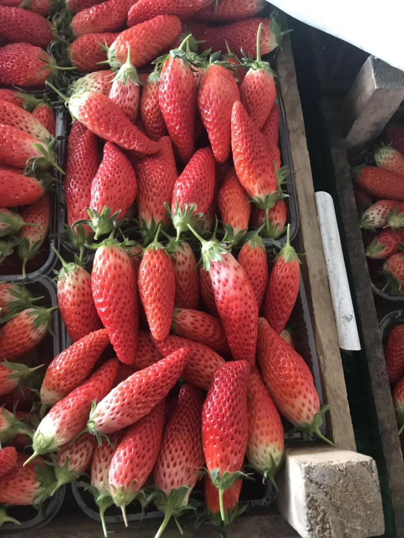 石景山颊丰草莓苗现在价格