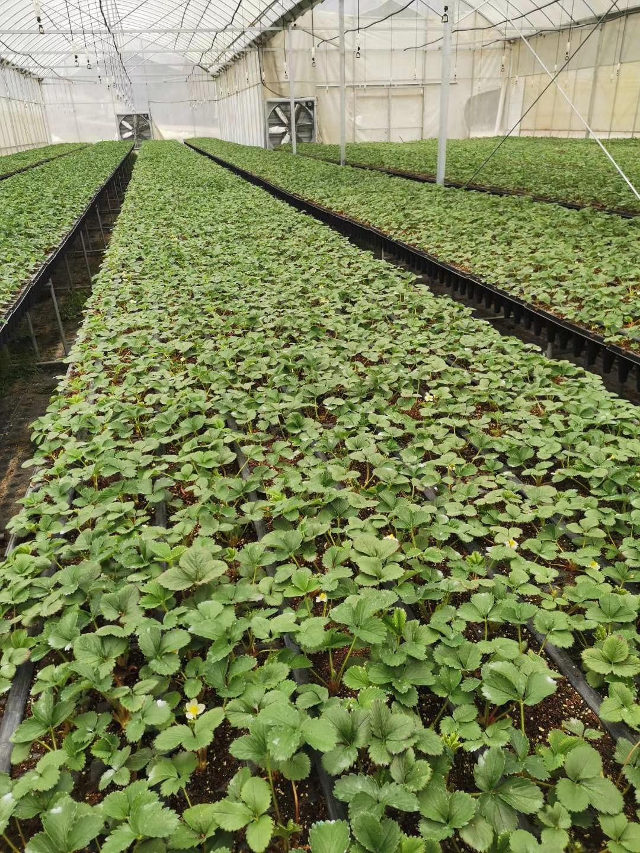 和田甘露草莓苗种植技术