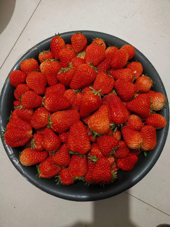 石景山艾莎草莓苗品种展示