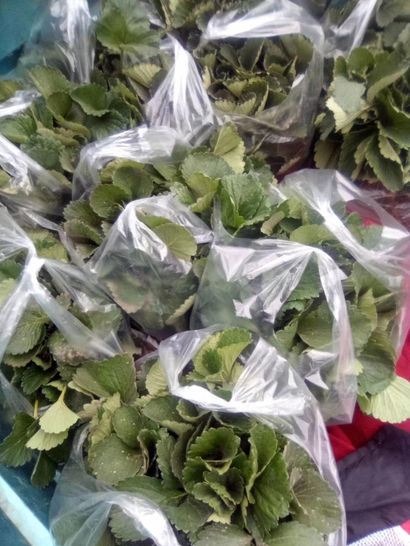 石景山夏秋草莓草莓苗价格走势表