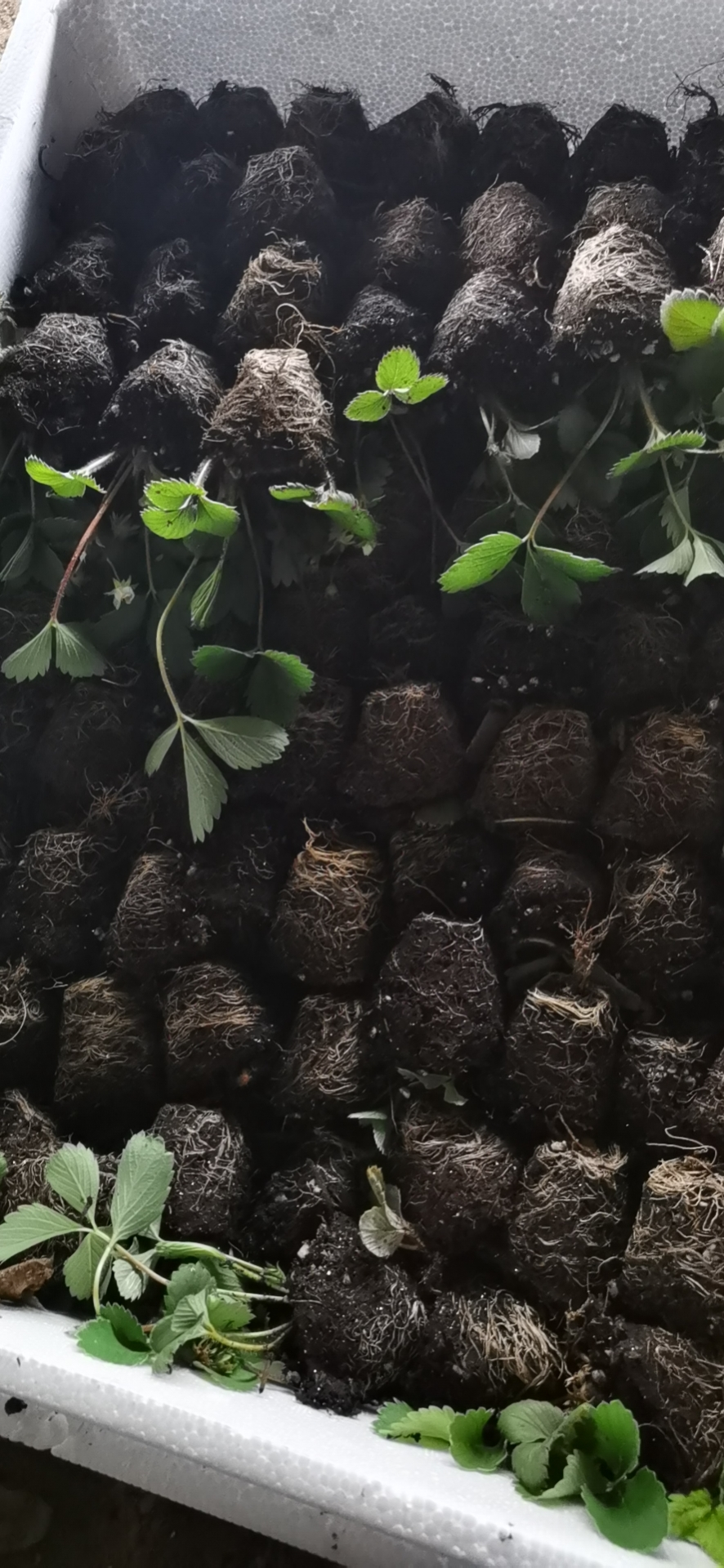 石景山永丽草莓苗现在价格