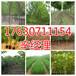 辉县附近5公分法桐种植基地159-9372-0369