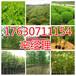 卫辉市周边地区5公分法桐种植基地159-9372-0369