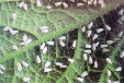 厂家直销白粉虱杀虫剂豆角白粉虱特效药白飞虱用什么药
