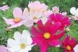 提供波斯菊花种子种植方法