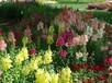 金鱼草花卉种子批发哪里便宜,金鱼草花种价格报价