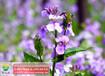 一二年生二月兰花种批发,二月兰花卉种子价格实惠
