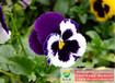 耐寒三色堇花种哪里有卖,哪里批发三色堇花种价格实惠