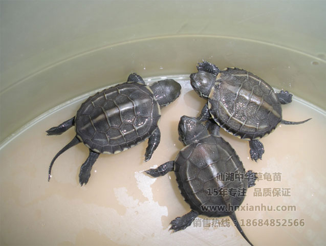 .不过草龟也快冬眠了,建议你家 草龟龟缸如何布置   :乌龟不吃东
