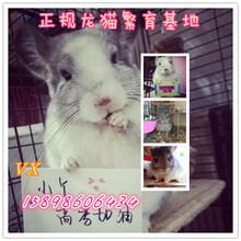 山东龙猫繁育基地常年出售各种龙猫幼崽白色龙猫价格