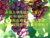 陕西红提葡萄批发红提葡萄行情红提葡萄基地价格