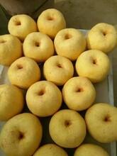 陜西碭山酥梨批發早酥梨基地庫存碭山酥梨產地價格陜西酥梨產地圖片