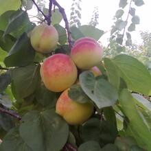 太平紅杏子批發陜西太平紅杏子批發陜西太平紅杏子價格圖片
