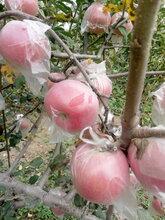 红富士苹果批发陕西红富士苹果基地冰糖心红富士苹果产地价格图片