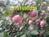 陕西红富士苹果批发陕西纸加膜红富士苹果批发陕西纸袋红富士苹果基地价格