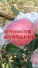 陕西水晶红富士苹果批发大荔县水晶红富士苹果价格渭北红富士苹果基地图片