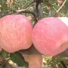 冷庫紅富士蘋果產地價格大荔縣紅富士蘋果價格圖片