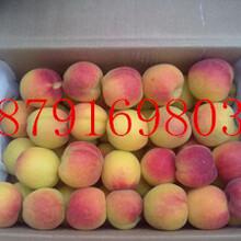 金太陽杏子產地價格豐源紅杏子產地行情杏子產地代辦圖片