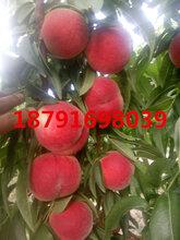 郑3毛桃批发早熟毛桃产地陕西桃子产地价格大个突围桃子行情图片