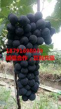 陕西夏黑葡萄种植基地大荔县夏黑葡萄产地价格夏黑葡萄产地行情图片