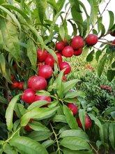 陕西珍珠枣油桃基地大荔珍珠油桃产地枣油桃产地行情图片