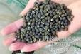 黄秋葵种子批发黄秋葵种子多少钱卡里吧品种杨贵妃品种