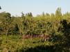 樱桃苗,3公分樱桃树,1.2米红灯樱桃苗,美早樱桃苗,山西樱桃苗
