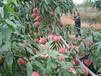 桃树苗价格,桃树苗,梨树,核桃苗,新品种桃树,桃树多少钱