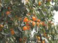 陕西特产富平柿饼图片