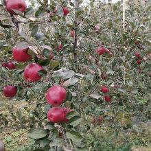 新品种苹果苗一亩地种植多少棵华勤种苗图片