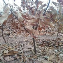雙8的板栗苗品種純正板栗1年苗圖片