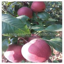 红皮梨树多少钱一株图片