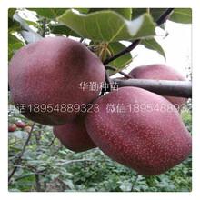 红皮梨树价格图片