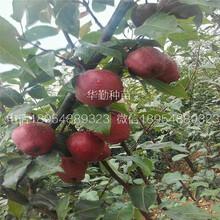 梨树苗厂家澳门图片