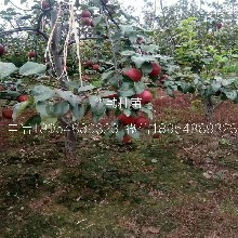 3公分红梨树发展前景图片