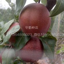 红皮梨树的产量图片