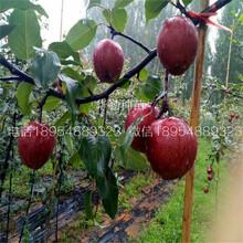 奥红梨树苗成熟期辽宁图片