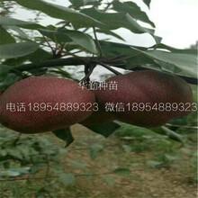 红梨树苗多少钱一株河南图片