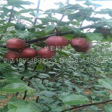 红梨树苗技术江苏图片