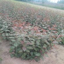 新红梨树品种介绍图片