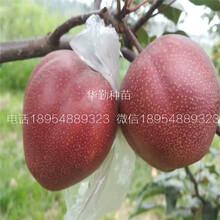 全红梨树苗育苗基地宁夏图片