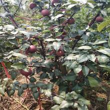 北集坡红梨树苗哪里有卖苗的图片