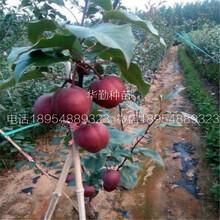 奥红一号红梨树厂家图片