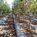 柱狀吉塞拉大櫻桃樹信譽高的商家一根棍大櫻桃樹苗大棚種植技術