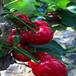 鄂州矮化根系櫻桃苗KGB樹形愛科品種