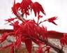 独家研发全宇宙最红三季红枫俄罗斯三季红枫全世界最红四季红枫血红枫火红枫