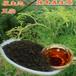 辣木茶的功效与作用,辣木茶的价格,云南满泽原生态辣木叶做茶辣木养生茶,辣木茶怎么喝
