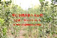 河北邢台欣润苗木大量供应北海道黄杨2.5米