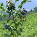 供应出售蓝莓苗木