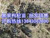 供应新疆葡萄苗木培育基地